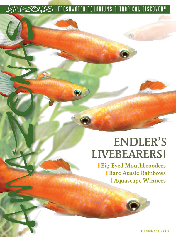 "It's in the mail: cover of AMAZONAS Magazine, Volume 6, Number 2, ENDLER'S LIVEBEARERS! On the cover: ""Red Scarlet"" Endlers: Poecilia wingei x P. reticulata hybrids, by Hans Georg Evers."