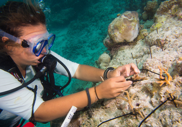 A Coral Reef CPR scientist establishing a coral restoration plot in the Maldives. Coral frags will grow into place on rock, and nails will eventually rust away.