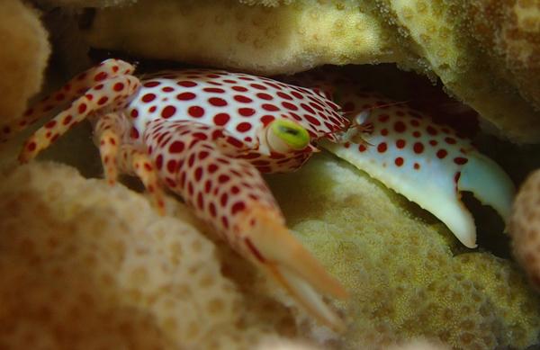 Trapezia crab defending a Pocillopora coral from corallivores