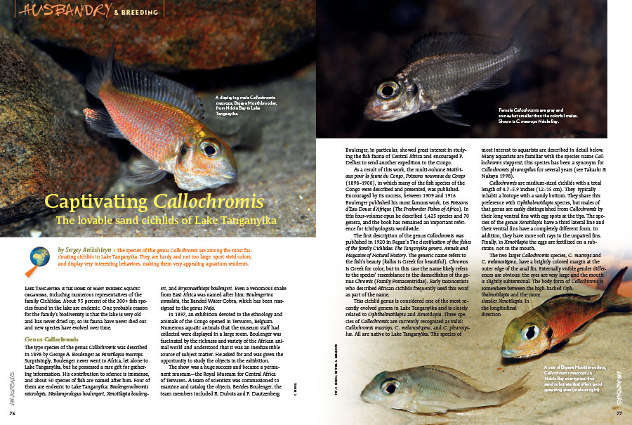 "Sergey Anikshteyn introduces readers to the ""Captivating Callochromis: The lovable sand cichlids of Lake Tanganyika."""