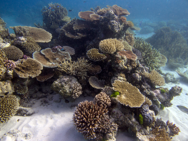A patch reef displaying the high structure provided by different species of Acropora.