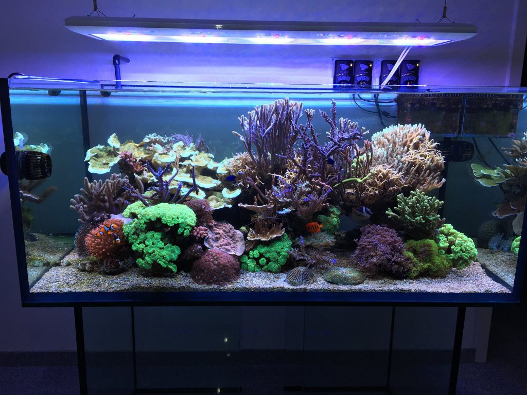 After only 2.5 years, Daniel Knop's reef aquarium has burgeoned into a spectacle of mature coral colonies. Image by Daniel Knop.