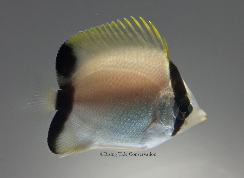 Juvenile Reef Butterflyfish (Chaetodon sedentarius) at 108 days post hatch.