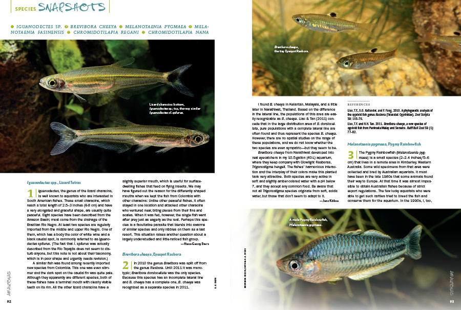 What's new? What's hot? What's worth revisiting? AMAZONAS Magazine's Species Snapshots will keep you in the know with the latest freshwater fish in the aquarium industry. In this issue: Lizard Tetras (Iguanodectes spp.), the Eyespot Rasbora (Brevibora cheeya), the Pygmy Rainbowfish (Melanotaenia pygmaea), the Fasin Rainbowfish (Melanotaenia fasinensis), Regan's Mouthbrooder (Chromidotilapia regani), and the Gabon Dwarf Mouthbrooder (Chromidotilapia nana).