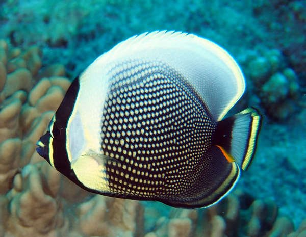 Reticulated Butterflyfish (Chaetodon reticulatus) is a specialized corallivore, eating only live coral polyps.