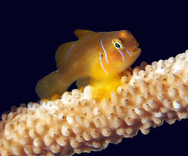 The Citron Goby (Gobiodon citrinus) has been extirpated from many reefs in the Maldives in the past year.