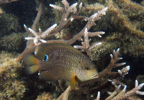 The Farming Damselfish (Stegastes punctatus) gardens and defends its preferred algae among Acropora thickets.