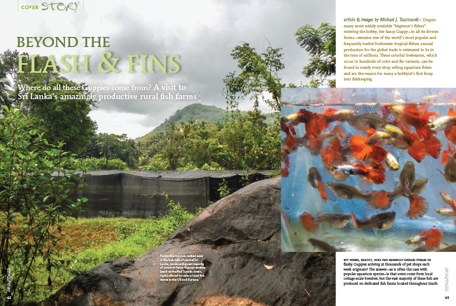 """AMAZONAS senior editor Mike Tuccinardi takes readers on a tour of some Sri Lankan and Vietnamese Guppy farms, which provide the vast majority of mass-produced fancy Guppies and Endlers to the world's aquarium shops."" - Hans-Georg Evers. Learn more when you read ""Beyond The Flash & Fins"" in the current issue of AMAZONAS Magazine."