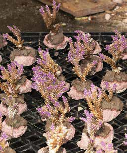 A closeup look at Acropora fragments ready for growout.