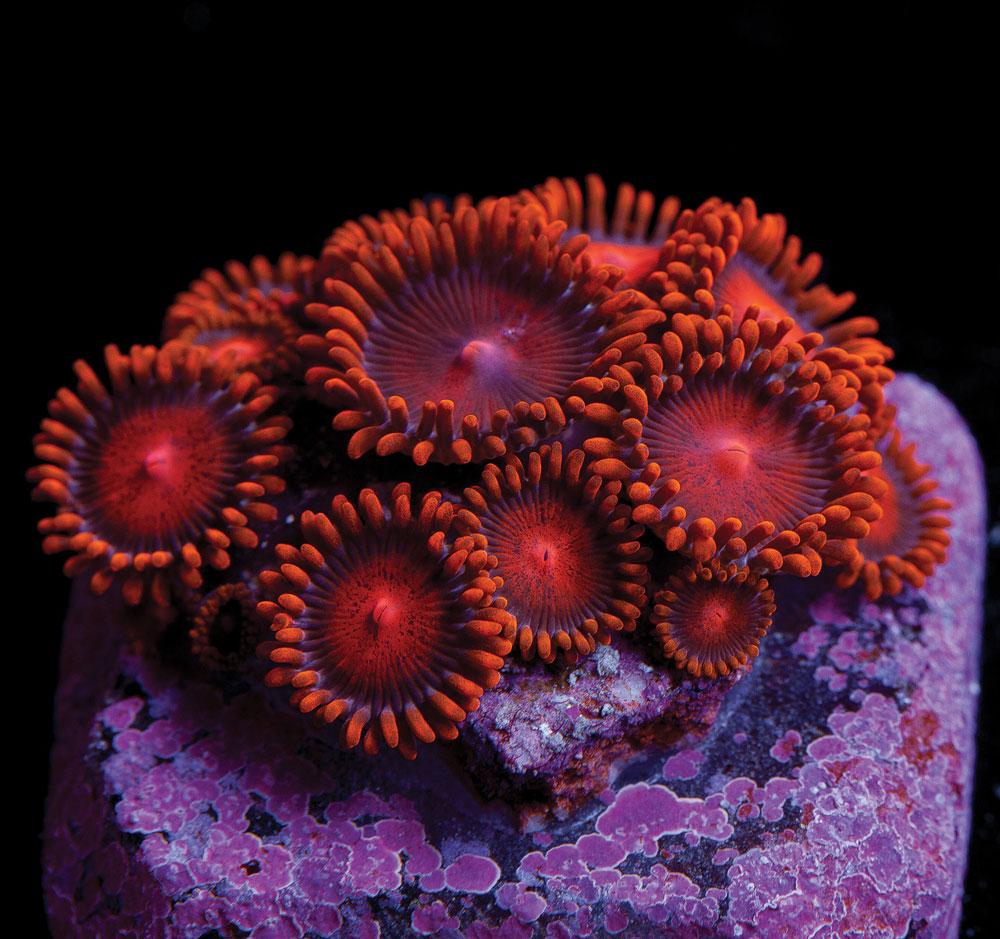 Bam Bams, by Unique Corals