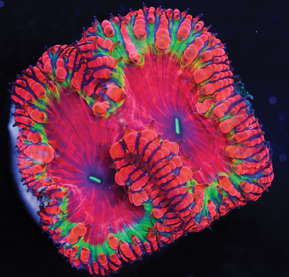 A nearly pink and lime green Blastomussa wellsi from World Wide Corals