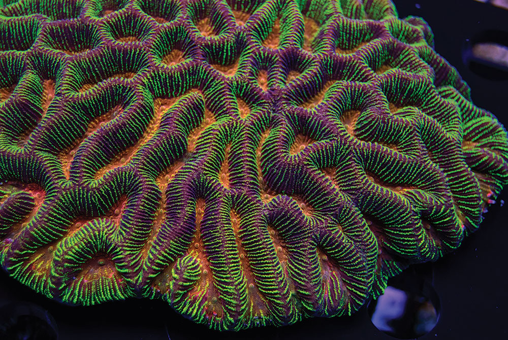 Convict Maze Brain Coral, by Carolina Aquatics