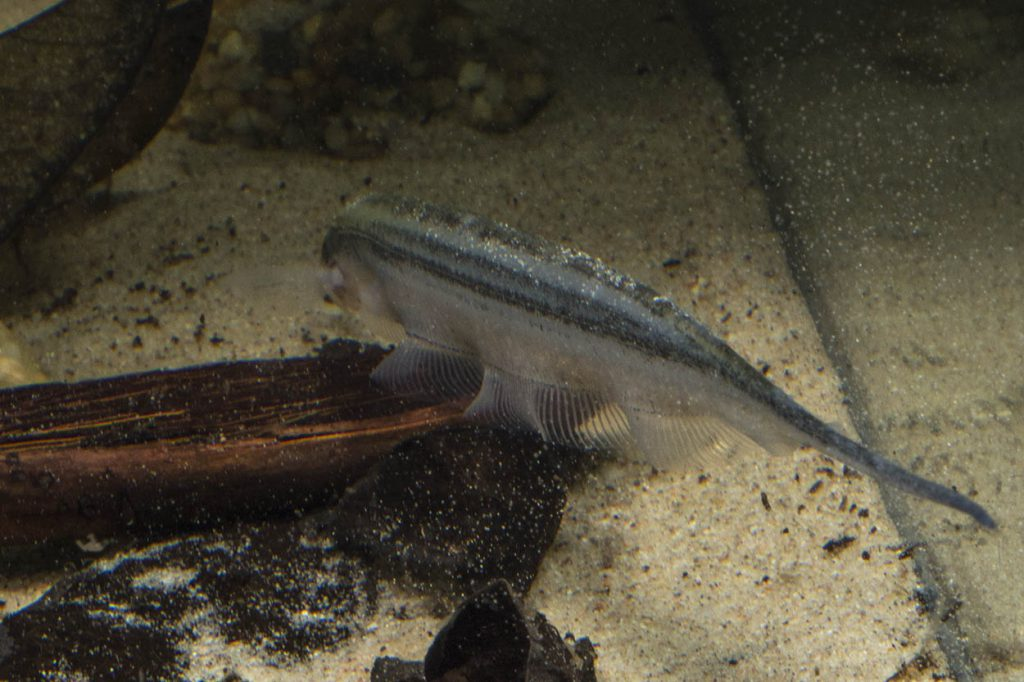 When not completely buried in the substrate, these fish are often seen in the above pose, digging through sand in search for insect larvae and crustaceans which makes up the bulk of their diet in the wild
