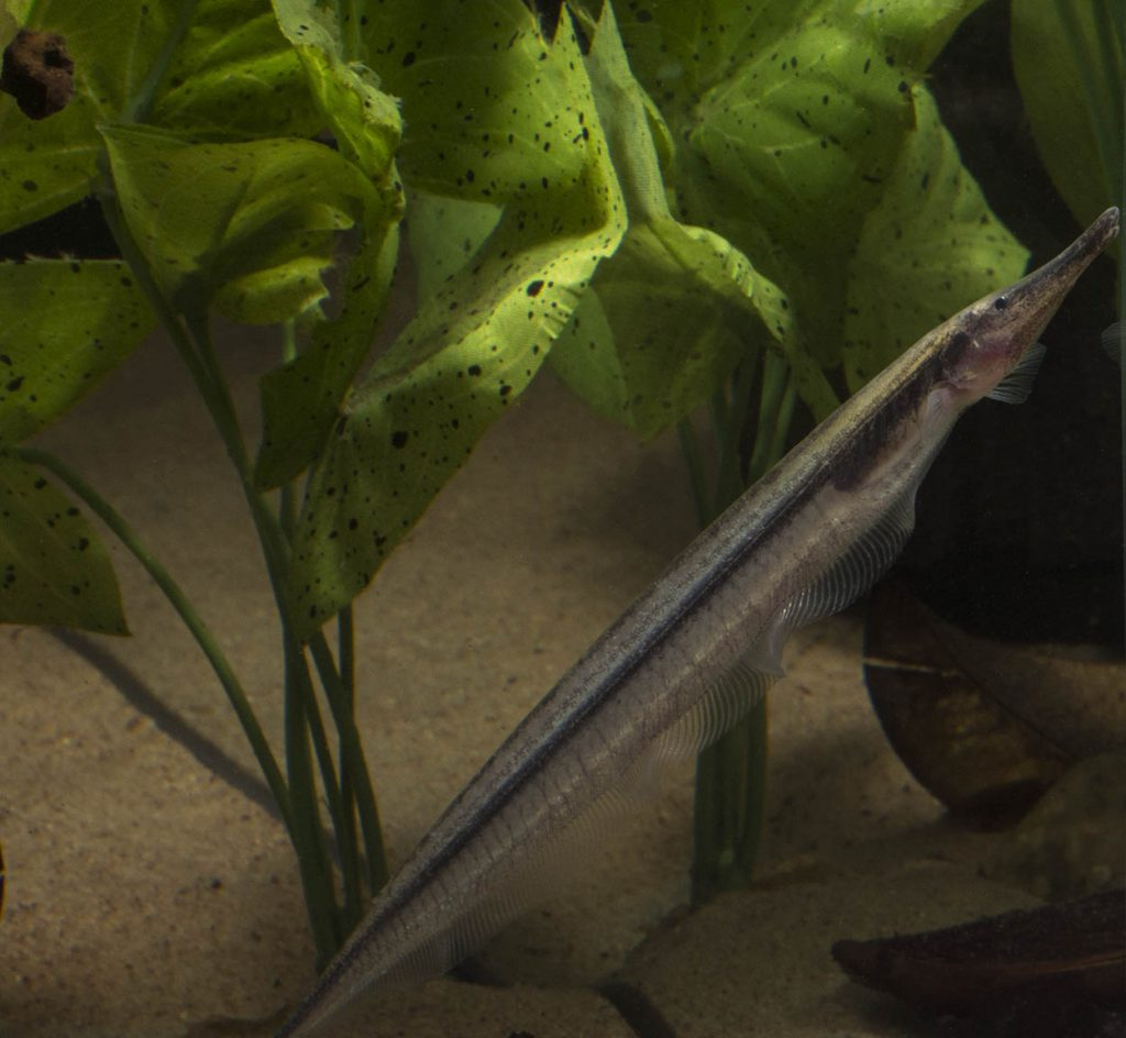 Like most knifefish, G. rondoni can easily swim forward and backward and often swims with a vertical (either head up or head down) orientation