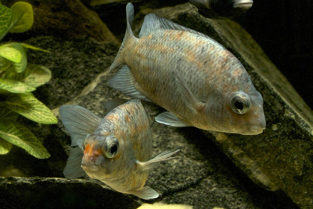 The Calico Damba (Paretroplus kieneri) is a CARES Priority species which aquarists can help to preserve even if only for the hobby as native populations suffer from habitat loss and introduced species