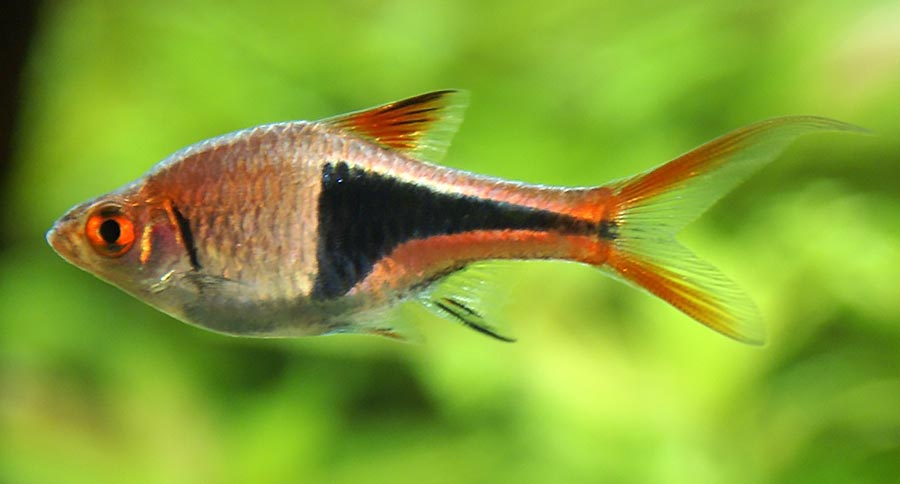 Trigonostigma heteromorpha, the Harlequin Rasbora show here, was the inspiration for the naming of this new tetra species. Image by Stefan Maurer, CC-SA-2.0