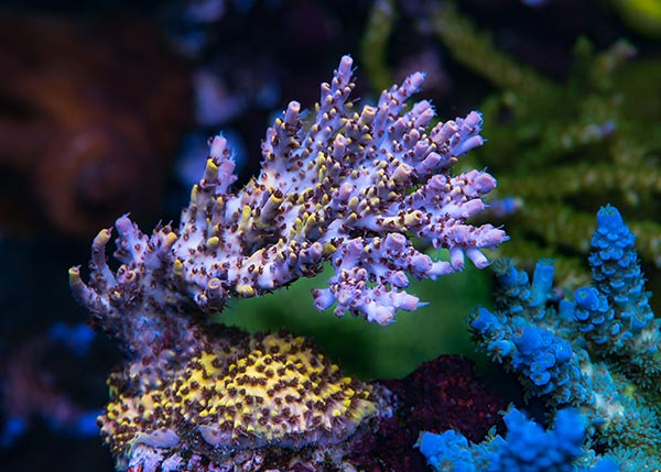 WWC Afterparty Acropora from World Wide Corals