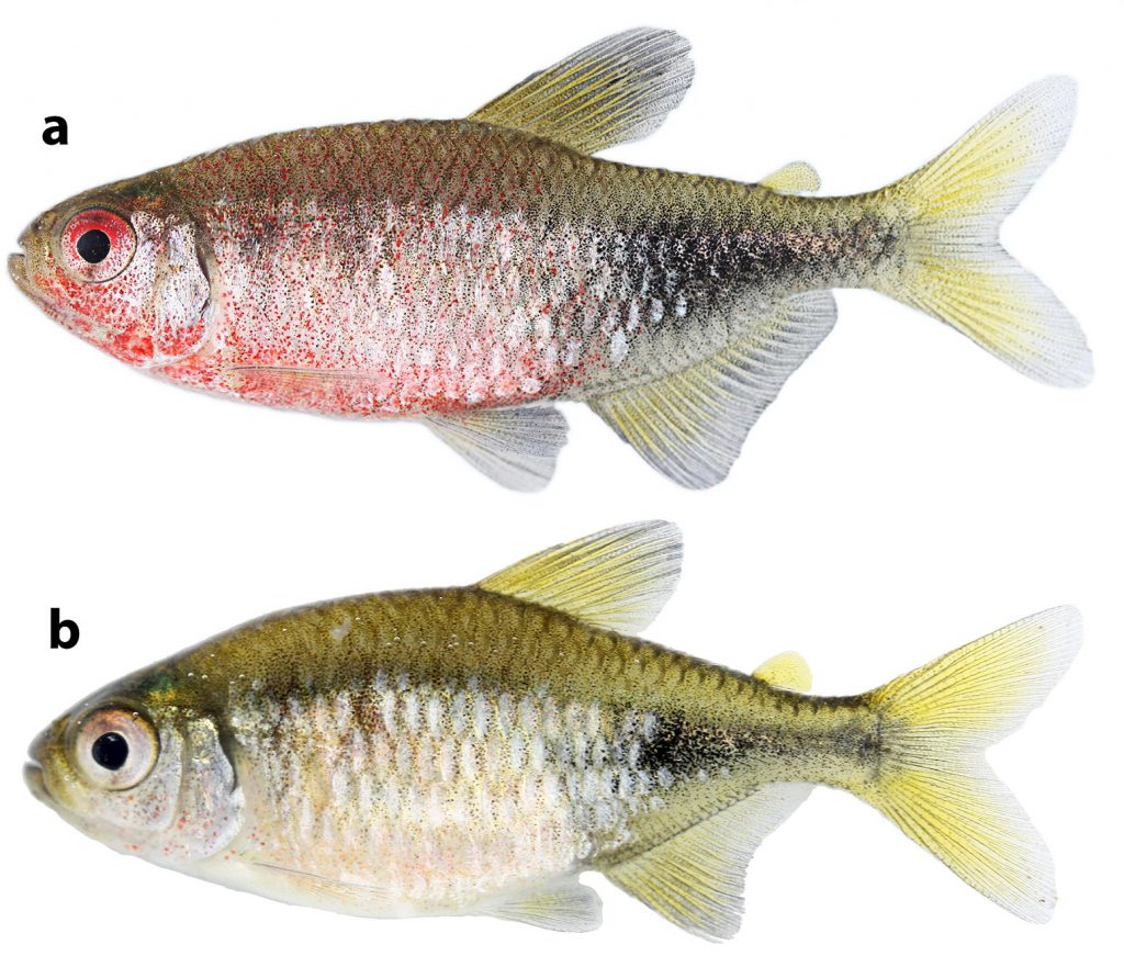 Phycocharax rasbora, MZUSP 119843, paratype, 29.1 male (a) and MZUSP 115313, paratype, 26.4 mm SL, female (b), immediately after collection. CC-BY-4.0