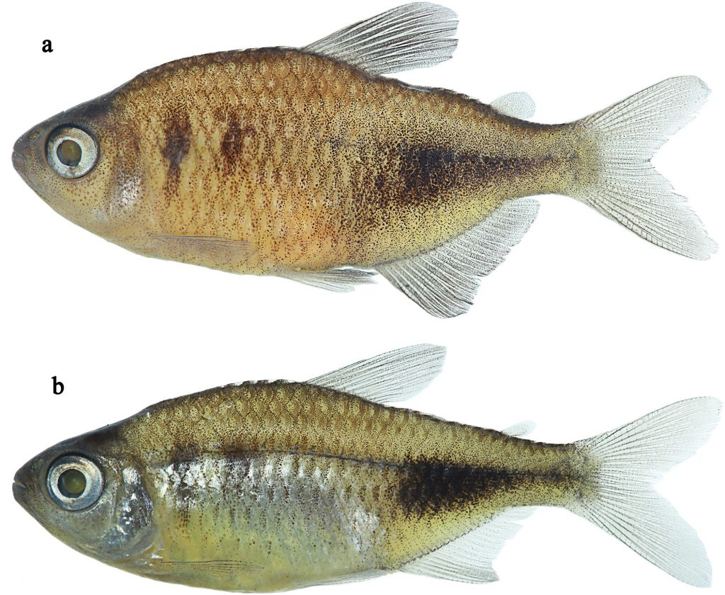 Phycocharax rasbora, holotype, MZUSP 119843, 29.1 mm SL, male; MZUSP 115341, 25.3 mm SL, paratype, female. CC-BY-4.0