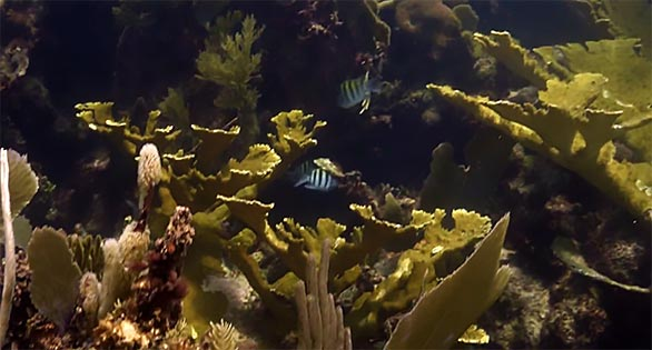 Elkhorn Coral, Acropora palmata, growing on one of Mexico's coral reefs. Video capture from SECORE / Reef Patrol.