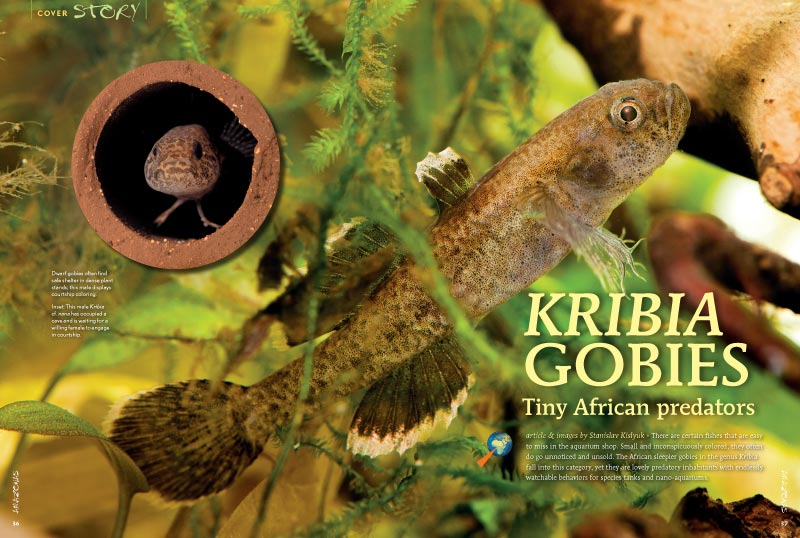 """The African sleepier gobies in the genus Kribia...are lovely predatory inhabitants with endlessly watchable behaviors for species tanks and nano-aquariums."" Stanislav Kislyuk shares his experiences."