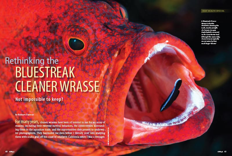 Robert Fenner is Rethinking the Bluestreak Cleaner Wrasse; while still urging great caution in the purchase of any Labroides wrasse, Fenner asks if the dawn of captive-bred Cleaner Wrasses may soon represent a sea change in the keeping of the species.