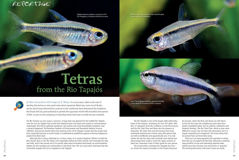 """Brazil still has great potential to provide the aquarium world with beautiful new species of fish, as seen in this sampling of schooling jewels that have recently become available."" Learn more in ""Tetras from the Rio Tapajós,"" by Hans-Georg Evers with image by F. Wang."