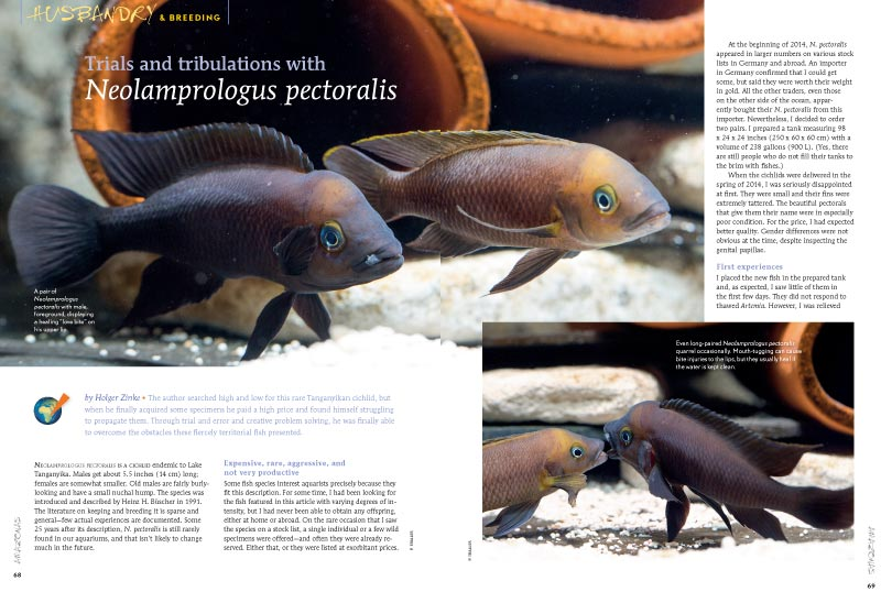 "Are you up to the challenge? Holger Zinke shares his ""Trials and tribulations with Neolamprologus pectoralis"" Read more in AMAZONAS Magazine, Volume 6, Number 3"