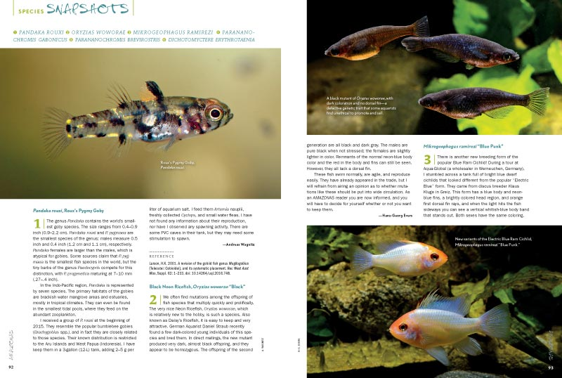 "AMAZONAS Magazine's must-read Species Snapshots keeps an eye on the newest and most interesting freshwater fish coming into the aquarium trade. In this issue: Roux's Pygmy Goby (Pandaka rouxi), Black Neon Ricefish (Oryzias woworae ""Black""), the new Blue Punk Ram (Mikrogeophagus ramirezi ""Blue Punk""), Gabon Dwarf Cichlid (Parananochormis gabonicus), the rare West African Parananochromis brevirostris, and the Samurai Puffer (Dichotomyctere etythrotaenia)."