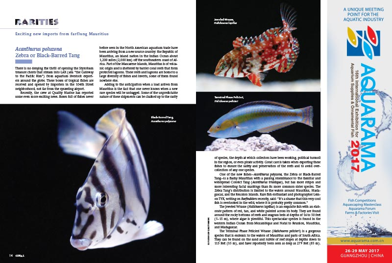 CORAL Magazine's Rarities column returns with an in-depth look at imports from Mauritius by Eli Fleishauer & Cynthia Delillo of Quality Marine, and then Brian Wagner of A&M Aquatics introduces 3 new cultivated varieties of Favia being farmed in Michigan, now in sufficient quantities to release on the wholesale market.
