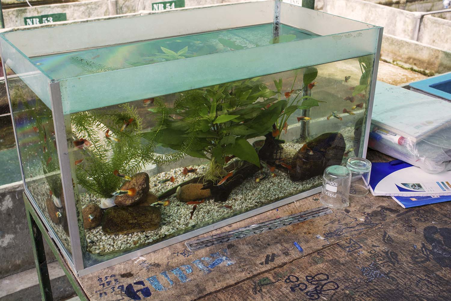 Developing quality broodstock fish with desirable traits is one of the primary functions of the center. Aquariums like this one allow staff to sort and grade adult fish for traits like color, finnage, and body shape