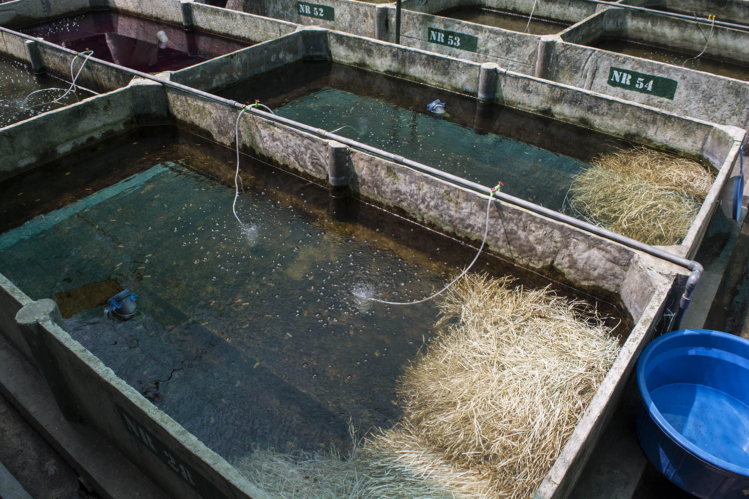 Guppies and other livebearers are among the country's main fish exports. Breeding ponds like this one include fibrous barriers for fry to hide in so they are not eaten by adult fish
