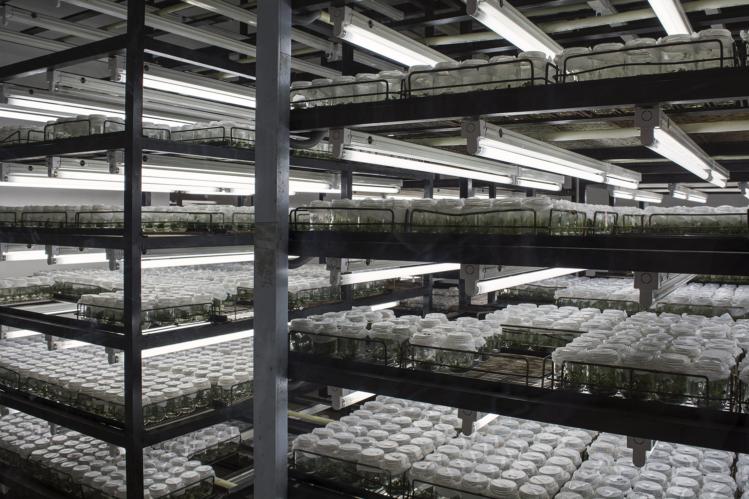 Rows of tissue culture plants being grown out in their special nutrient-rich media. The lab sells surplus plants to exporters throughout the country