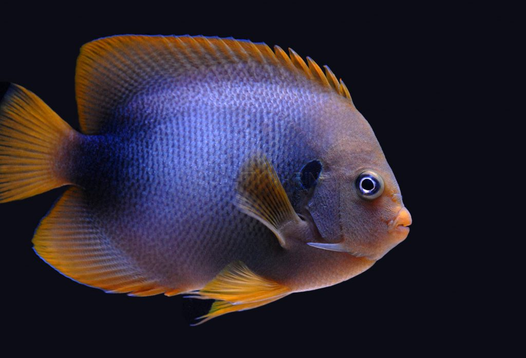 African Angelfish, Holacanthus africanus, a rarity from West Africa, is reaching the US aquarium trade.