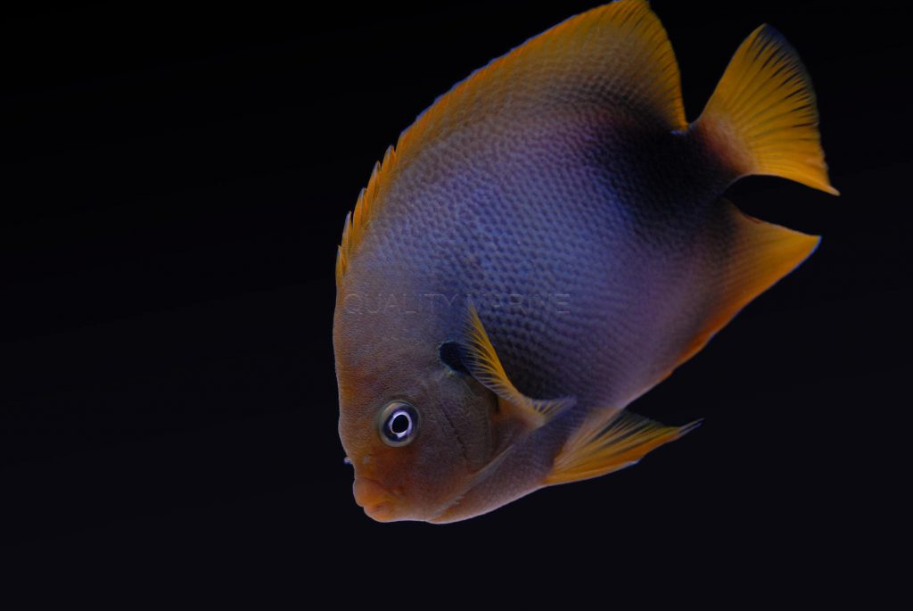 This subadult African Angelfish still shows traces of the blue juvenile coloration, which disappears with age.