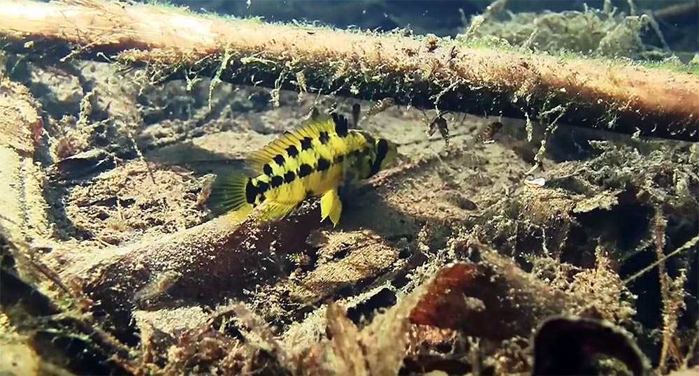 A female Apistogramma alacrina shepherds her fry through leaves and sticks; one of many exciting encounters in this episode.