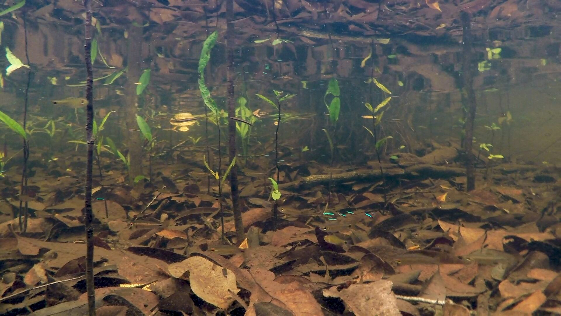 Wild habitat of Cardinal Tetras in Project Piaba's study area on the middle Rio Negro