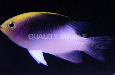 Chrysiptera rollandi - image courtesy Quality Marine