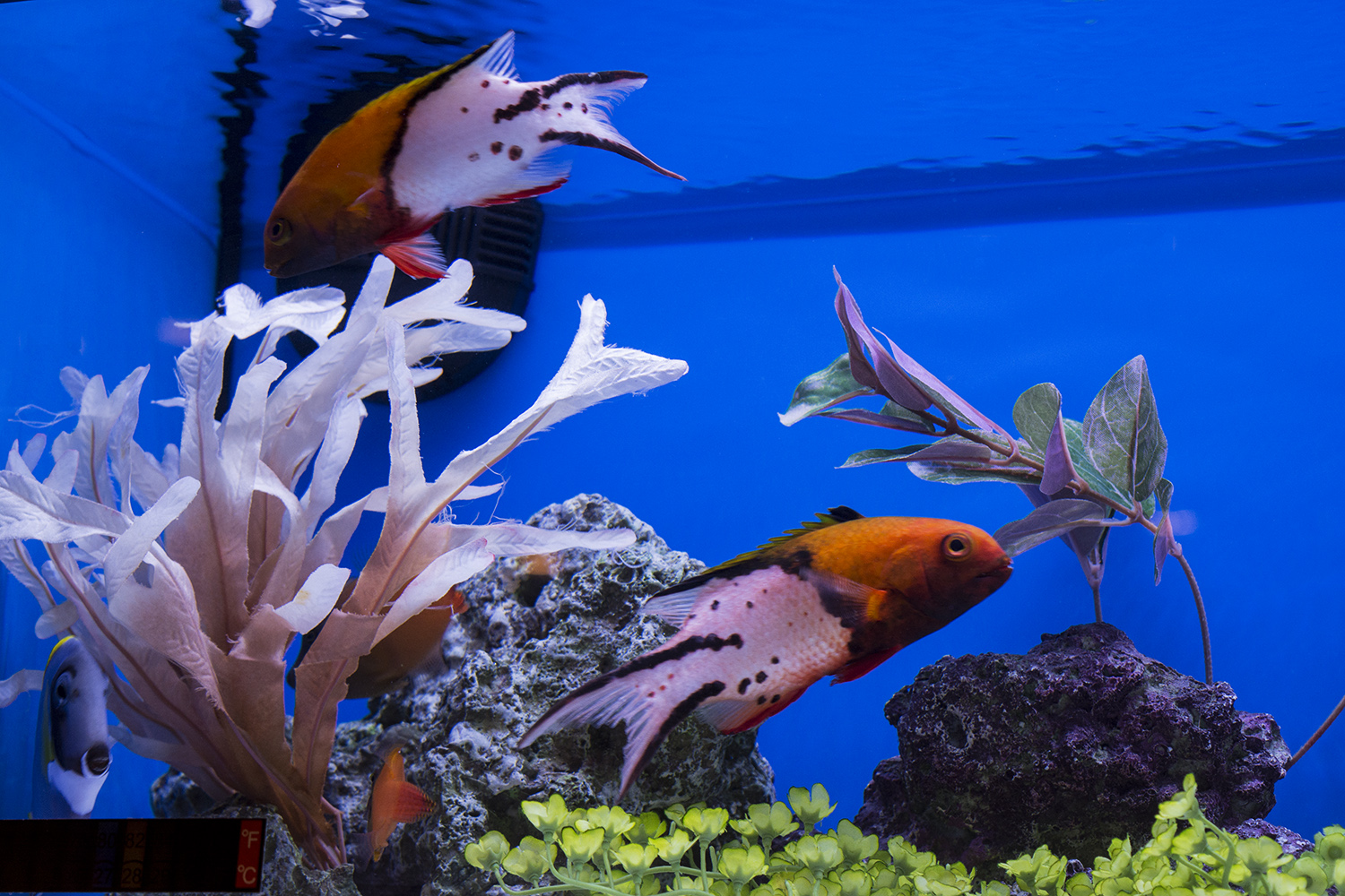 A pair of Lyretail Hogfish (Bodianus anthioides) showing off their namesake caudal fins in one of Segrest Farms' aquariums