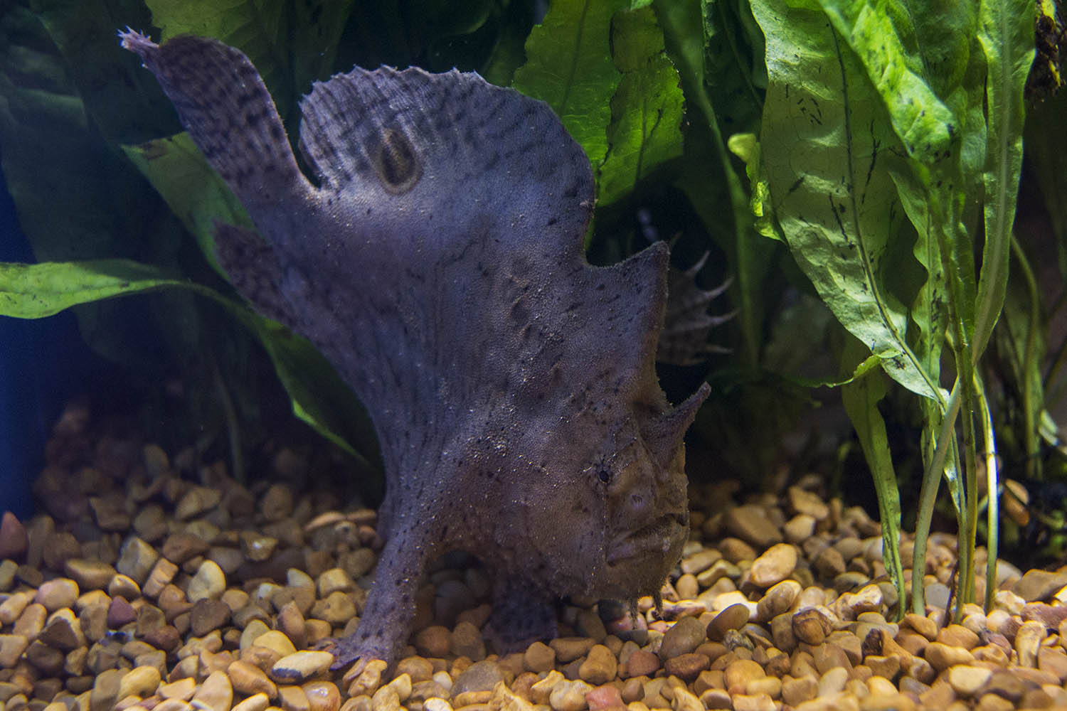 Freshwater aquarium fish orlando - A Real Rarity From Segrest Farms A Freshwater Frogfish Antennarius Sp