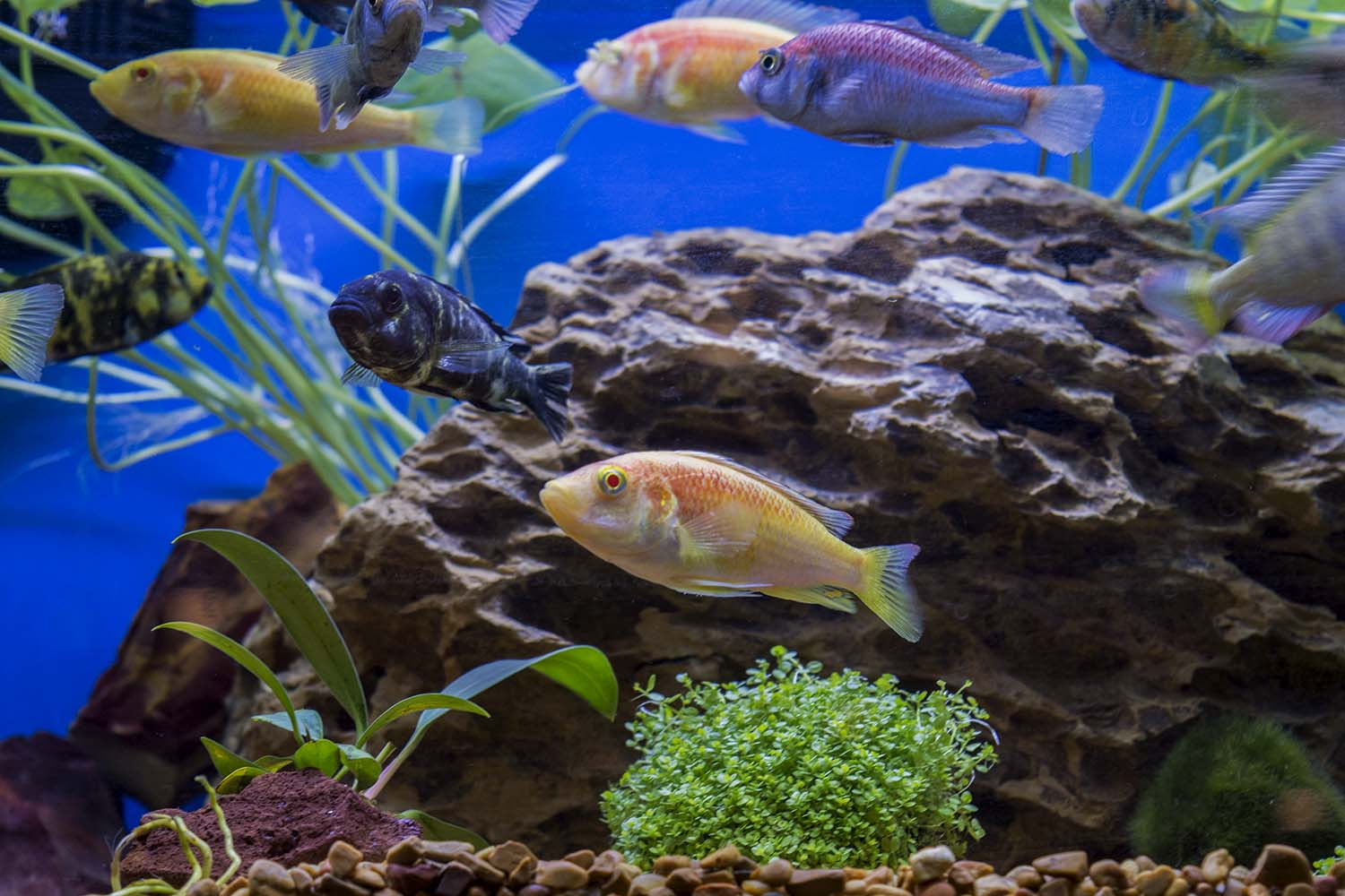 A nice group of Victorian Cichlids, including a new albino strain of Pundamilia nyerei (center) from Mike's Cichlids
