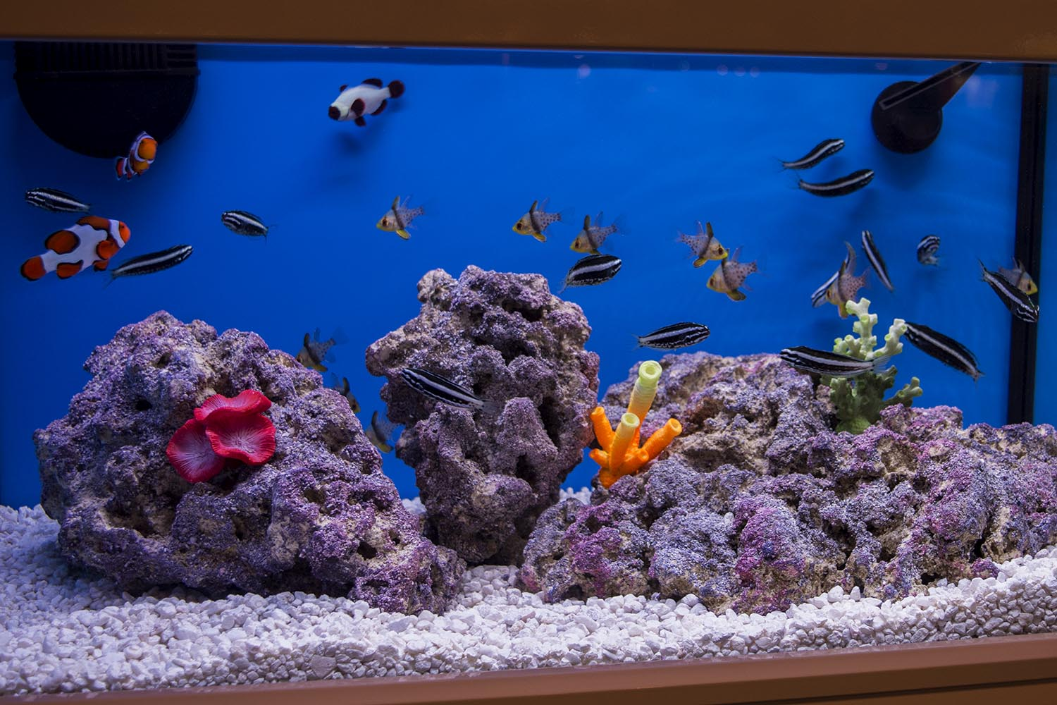 A display aquarium featuring captive bred fish from ORA including Kamohara Blennies, Pajama Cardinals, and others.