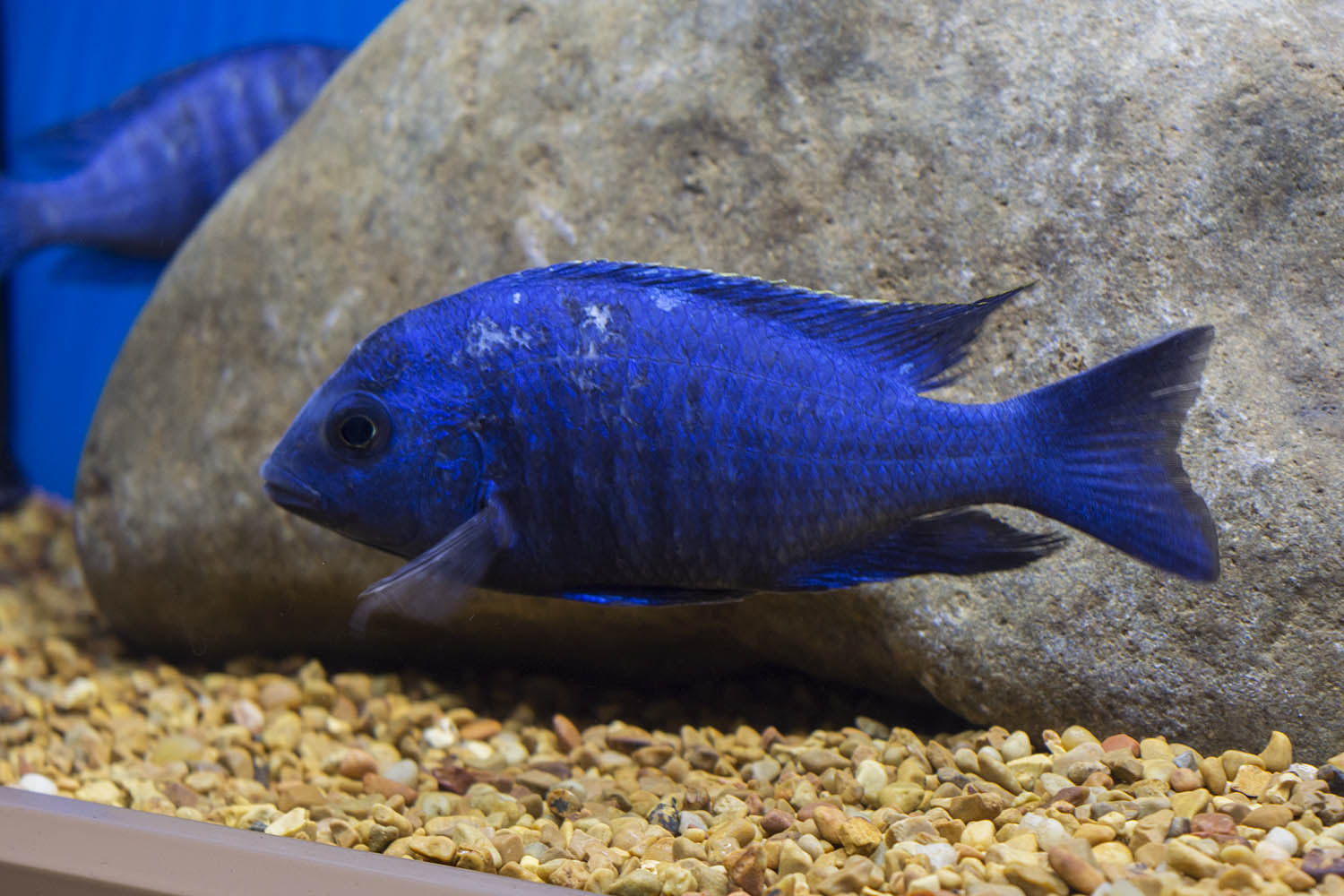 One of Lake Malawi's lesser-known gems, Placidichromis sp. 'Tanzania Star Sapphire' from Imperial Tropicals