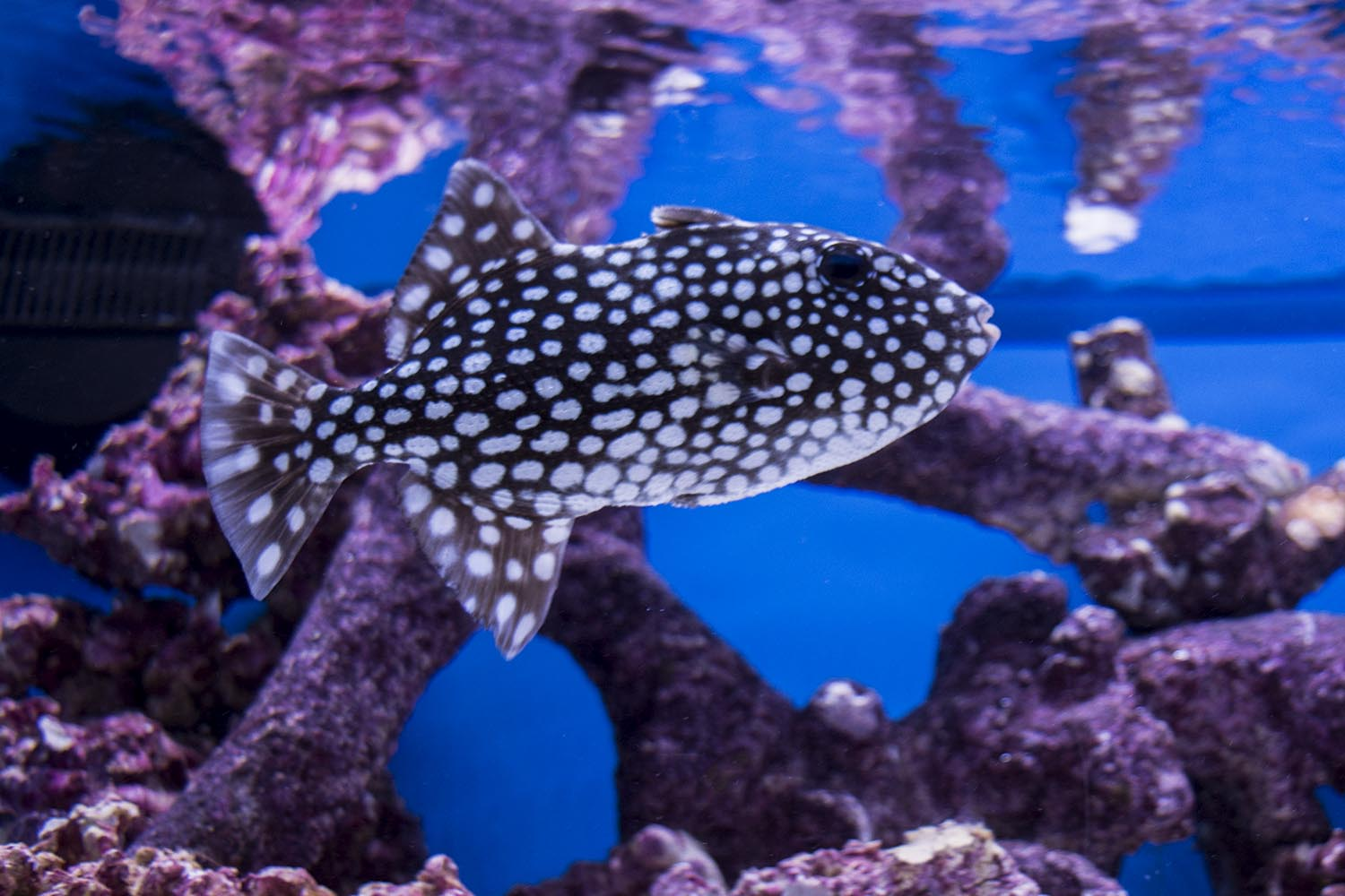Canthidermis maculata, the Spotted Oceanic Triggerfish