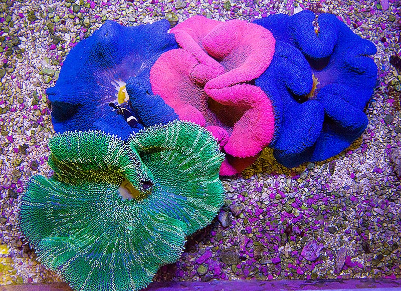 Assorted Carpet Anemones, shared by Eye Catching Corals