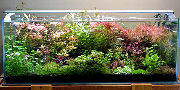 "The author's 65-gallon ""farm tank"" is a wild stem-plant jungle of diverse colors and form growing for future use in display aquascapes."