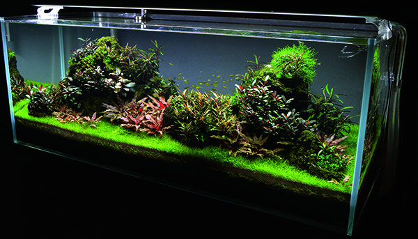 "The author's 65-gallon Nature Aquarium featuring an Unzan stone hardscape mounted with Bucephalandra varieties, a carpet of Eleocharis acicularis, and Cryptocoryne petchii ""Pink"" is a simple but effective layout based on traditional Nature Aquarium style principles."