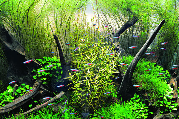 "Balance is found in this Nature Aquarium's shoal of Cardinal Tetras swimming through an underwater forest of Rotala sp. ""Vietnam,"" Ludwigia arcuata, and Anubias nana ""Bonsai."""