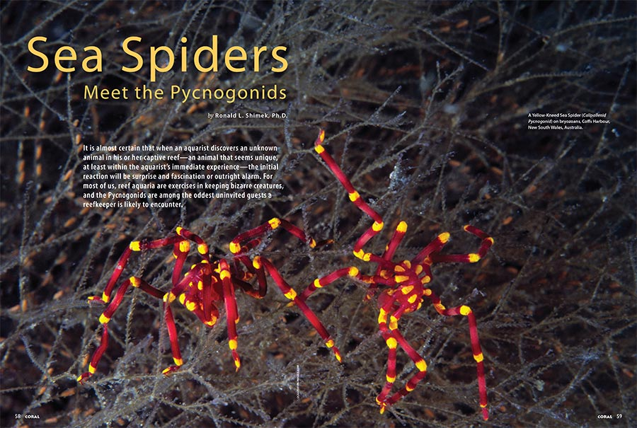 For most of us, reef aquaria are exercises in keeping bizarre creatures, and the Pycnogonids are among the oddest uninvited guests a reefkeeper is likely to encounter. Dr. Ronald L. Shimek introduces the Pycnogonids (Sea Spiders).