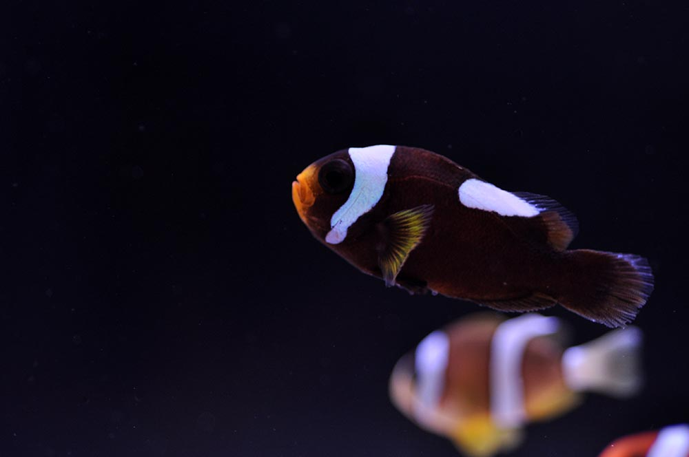 A healthy, vibration Saddleback Clownfish, produced by the students at Stratton Elementary, and ready for sale at Quality Marine.